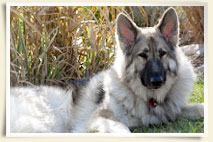 Shiloh Shepherd Willow