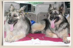 Shiloh Shepherd Rescues Nala and Tayga.